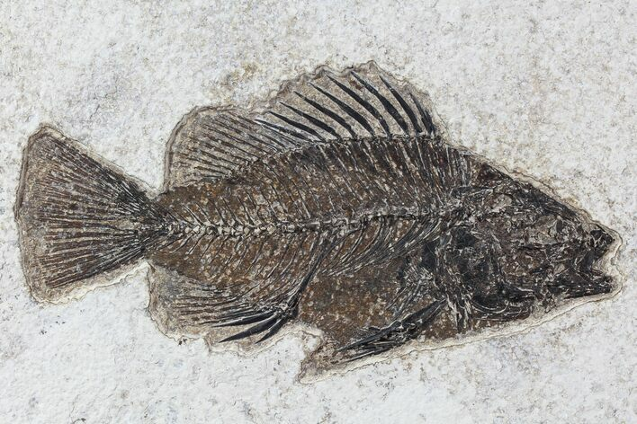 "5.4"" Cockerellites (Priscacara) Fossil Fish - Wyoming"