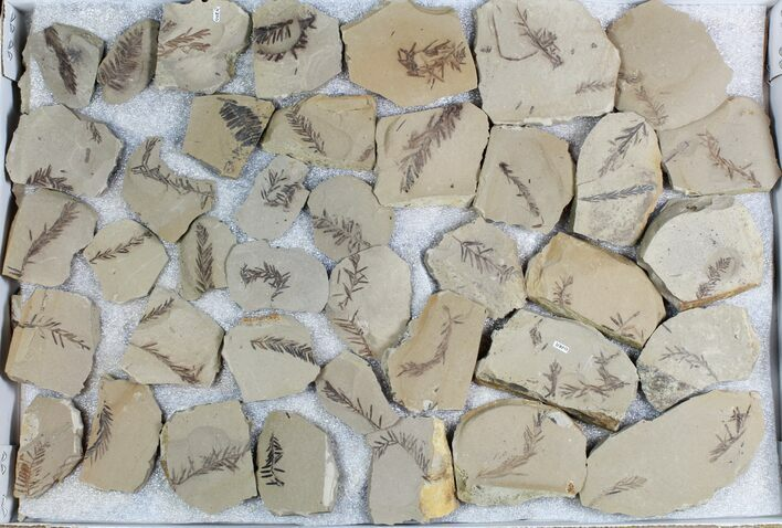 Wholesale Lot: Small Metasequoia (Dawn Redwood) Fossils - 66 Pieces