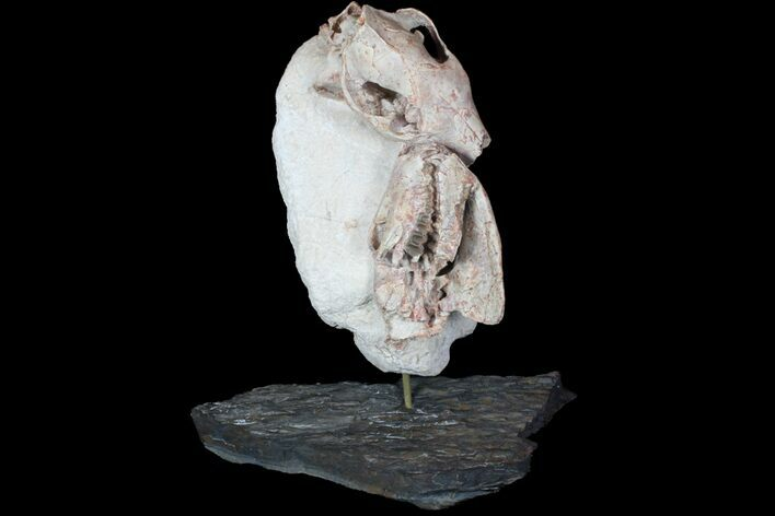 Two Associated Oreodont Skulls On Rotating Stand