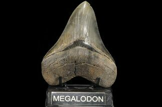 Carcharocles megalodon - Fossils For Sale - #78183