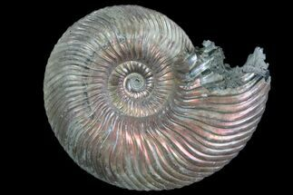 "Buy 1.4"" Iridescent Ammonite (Quenstedtoceras) Fossil With Pyrite - #78502"