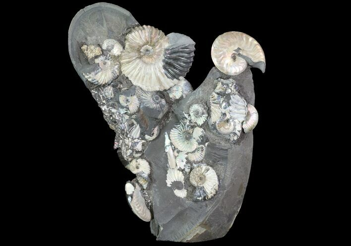 "Gorgeous, 8.3"" Tall Iridescent Ammonite Cluster - Russia"