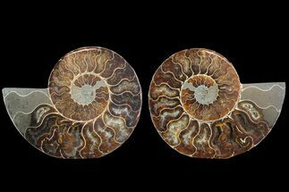 Cleoniceras - Fossils For Sale - #78552