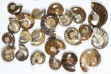 "Wholesale: 1 KG Madagascar Polished Ammonites (1-2"") - 48 Pieces - #79348-1"