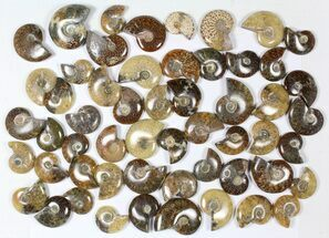 "Wholesale: 1 KG Madagascar Polished Ammonites (1-2"") - 55 Pieces For Sale, #79349"
