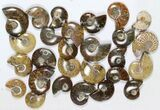 "Wholesale: 1 KG Madagascar Polished Ammonites (1-2"") - 55 Pieces - #79349-1"