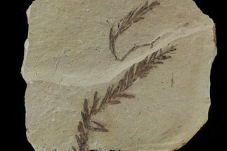 Metasequoia (Dawn Redwood) Fossil - Montana  For Sale, #79589