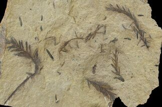 Metasequoia (Dawn Redwood) - Fossils For Sale - #79596