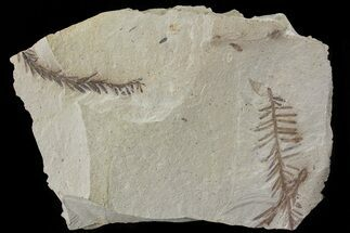 Buy Metasequoia (Dawn Redwood) Fossil - Montana  - #79609