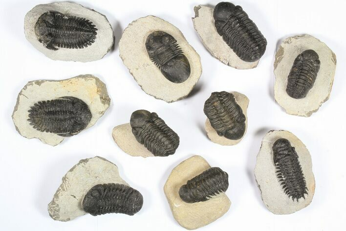 Wholesale Lot: Assorted Devonian Trilobites - 10 Pieces