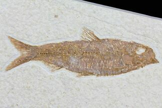 Knightia eocaena - Fossils For Sale - #79866