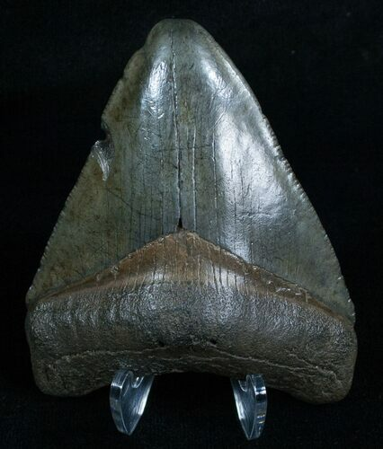 "2.96"" Megalodon Tooth - Peace River, FL"