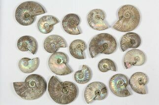 "Buy Wholesale: 1 KG Silver Iridescent Ammonites (2-3"") - 20 Pieces - #79438"