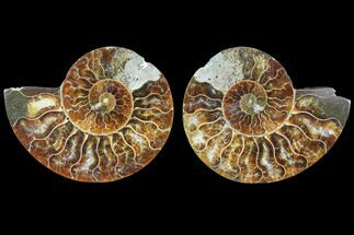Cleoniceras - Fossils For Sale - #78399