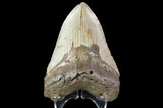 "Buy 4.62"" Fossil Megalodon Tooth - North Carolina - #79915"