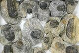 Wholesale Lot: Assorted Devonian Trilobites - 30 Pieces - #80636-1