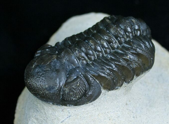 Phacops Trilobite From Morocco - Great Eyes