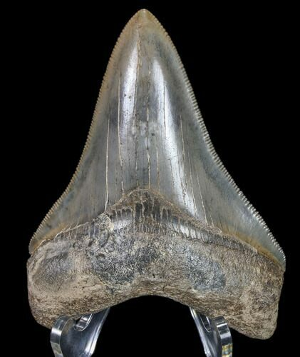 "Serrated, 3.65"" Fossil Megalodon Tooth - Nice Color"