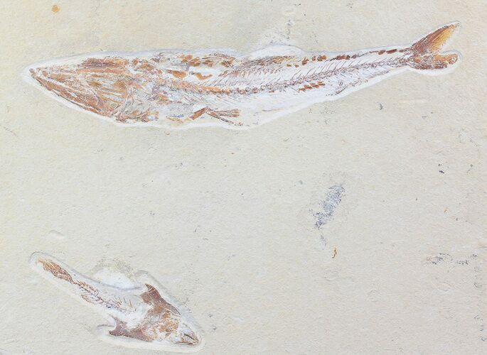 "11"" Enchodus With Coccodus Fossil Fish - Lebanon (Special Price)"