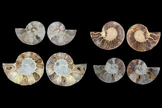 Mostly Cleoniceras - Fossils For Sale - #81276