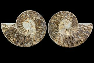 "13.2"" Choffaticeras (""Daisy Flower"") Ammonite - Madagascar For Sale, #81281"