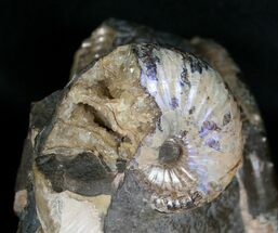 Buy Two Hoploscaphites Ammonites In Matrix - South Dakota - #6127