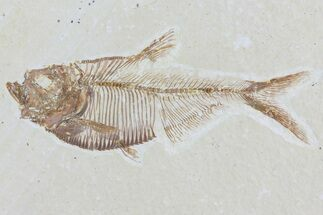 "3"" Diplomystus Fossil Fish - Wyoming For Sale, #81434"