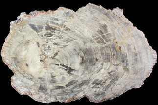Araucaria (Conifer) - Fossils For Sale - #81441