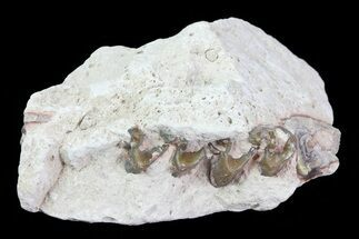 Oligocene Horse (Mesohippus) Jaw Section For Sale, #81503