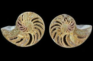 "Buy 2.4"" Cut & Polished Nautilus Pair - Madagascar - #82135"