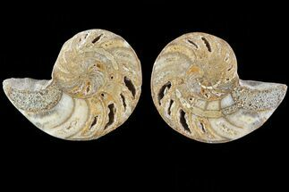 "2.5"" Cut & Polished Nautilus Pair - Madagascar For Sale, #81983"