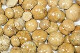 Wholesale Lot: Small, Polished, Jurassic Sand Dollars - 100 Pieces - #82394-2