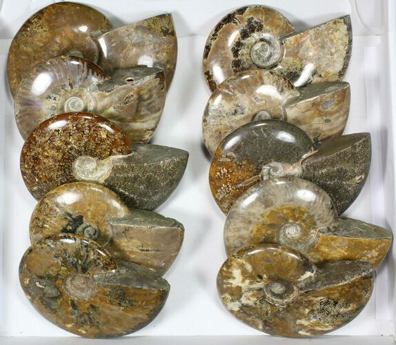 "Wholesale Lot: 5 1/2 to 7"" Polished Ammonite Fossils - 10 Pieces"