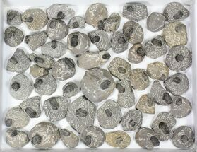 Gerastos - Fossils For Sale - #82500