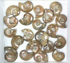 "Wholesale: 1kg Iridescent, Red Flash Ammonites (2-2.5"") - 21 Pieces For Sale, #82490"