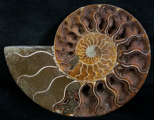 "Beautiful 4.9"" Split Ammonite (Half)"
