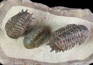 Crotalocephalina gibbus & Reedops - Fossils For Sale - #82974