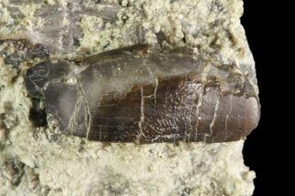 "Rare, .6"" Apatosaurus Tooth in Matrix - Colorado For Sale, #19340"