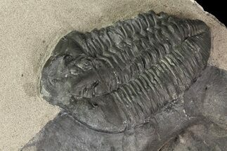 "Buy Huge 2.1"" Gravicalymene Trilobite - New York - #14047"