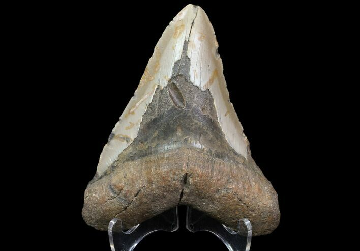 "Bargain, 4.8"" Megalodon Tooth - North Carolina"