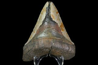 "Buy Bargain, 4.76"" Megalodon Tooth - North Carolina - #83953"