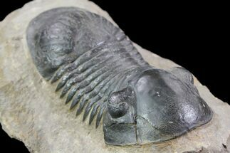 "Buy 2.95"" Paralejurus Trilobite - Laatchana, Morocco - #85546"