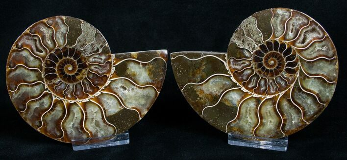 "4.25"" Cut and Polished Ammonite Pair"