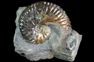 "Buy 1.2"" Iridescent Hoploscaphites Ammonite - South Dakota - #86203"