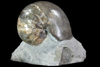 "Buy 1.6"" Fossil Nautilus (Eutrephoceras) in Limestone - South Dakota - #86215"