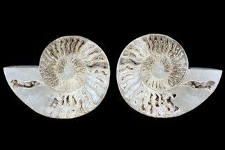 "12.2"" Choffaticeras (""Daisy Flower"") Ammonite - Madagascar For Sale, #86771"