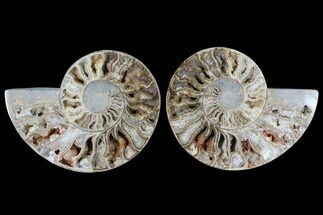"10.3"" Choffaticeras (""Daisy Flower"") Ammonite - Madagascar For Sale, #86774"