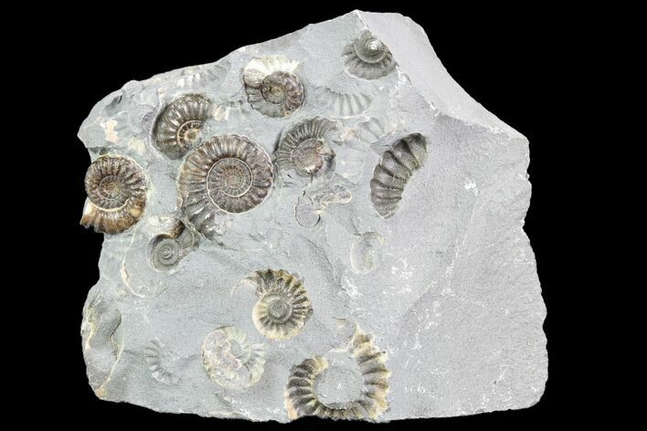 "2.6"" Ammonite (Promicroceras) Cluster - Somerset, England"