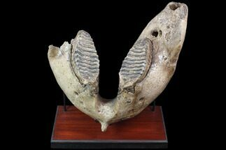 "22"" Wide Woolly Mammoth Lower Jaw With M3 Molars - HUGE! For Sale, #87476"