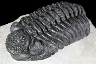 "2.3"" Phacops Araw Trilobite - Rare Phacopid Species For Sale, #87584"